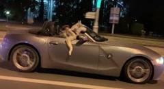 オープンカーが大好きなハスキー犬 BMW Z4でごきげんドライブ