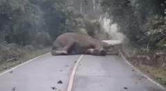 道路のど真ん中で堂々と寝ちゃう野生のゾウさん