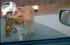 これは怖い!ロシアの高速道路になぜかトラが現れた動画