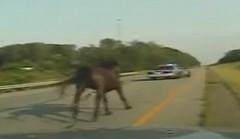 警察と馬がカーチェイスしちゃう動画