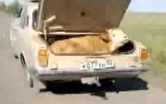 おぉおお!?乗用車に牛を乗せて走っちゃう動画