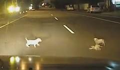 車にひかれてしまった子犬が気になる兄弟の子犬達の動画