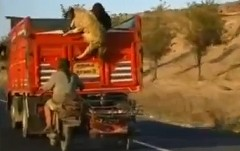 すごっ!走行中のトラックから羊を盗んじゃう大胆な泥棒の動画