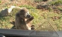 クルマが猿に占拠されちゃう動画