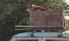えええ!走行中のクルマの屋根に犬が座ってる!っていう動画