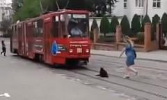 車も路面電車もまったく気にしないマイペースなワンちゃんの動画