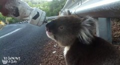 道路脇にコアラがいたから戯れてみた動画