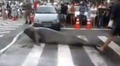 ゾウアザラシが横断歩道を渡っちゃう動画