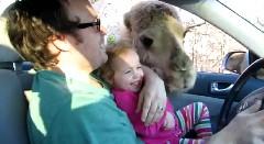 ちっちゃな女の子がラクダに餌をあげてみた