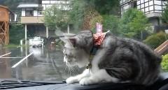 ワイパーに反応しまくるネコ動画