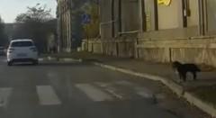 交通ルールを厳守するワンちゃんがカワイイほのぼの動画