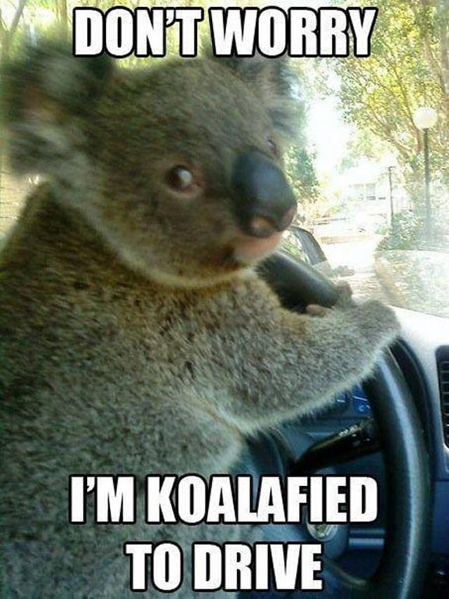 コアラ「運転は任せろ」