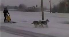 道路でリアルに犬ぞりに乗ってる動画