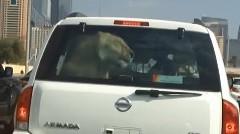 ライオンを車に乗せてるやつがいた!っていうびっくり動画