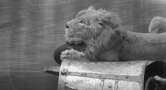 ライオンを乗せて死の壁スタントをしちゃう動画