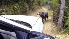 メェ~ 超強気すぎる雄羊が車に突進してくる動画