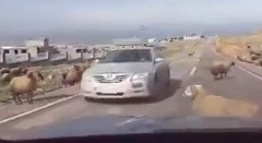 羊すげー!羊同士が喧嘩している間を車で通り抜けようとしてみた動画