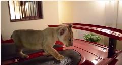 ペットの子ライオンがポルシェ カレラGT の上を這いまわっちゃう金持ち動画