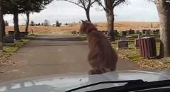 走行中の車の周りを歩きまわっちゃうアクティブなネコ動画