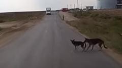 おりこう犬「車が来た!危ないから後ろに下がれ!」