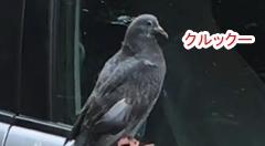 完全にドライバーに悪意がある鳩