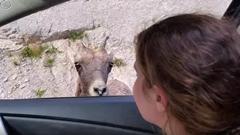 ヒツジ「車うめぇ」ベロベロベロ