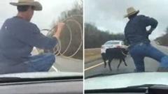 ボンネット上から投げ縄で子牛を捕まえるスゴ腕カウボーイ