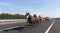 ハンガリーの高速道路を10頭の馬が逆走しちゃう動画