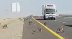 猿の大群が道路を横断しちゃう動画