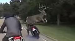 鹿が走行中のバイクをジャンプで飛び越えちゃう動画