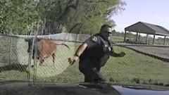 警察 vs 牛 パトカーで暴れ牛を追い込むものの逆襲されちゃう動画