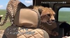 野生のチーターが車に入ってきた!