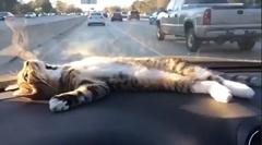 猫「ダッシュボード落ち着くわ~」