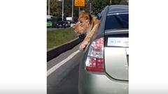 ロシア人 プリウスでライオンを運ぶの巻
