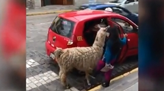 アルパカもタクシー乗ってもいいすか?