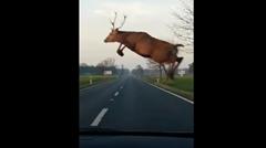車と並走する鹿のスゴジャンプ動画